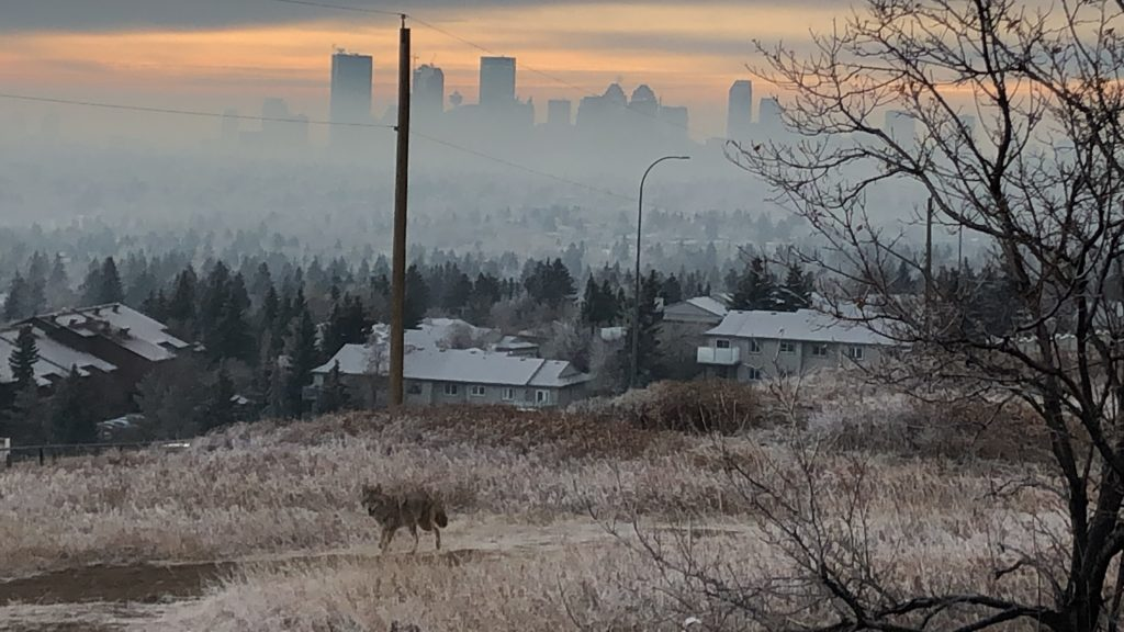 www.iamcalgary.ca I Am Calgary Nose Hill Park Downtown Calgary Fog Coyote