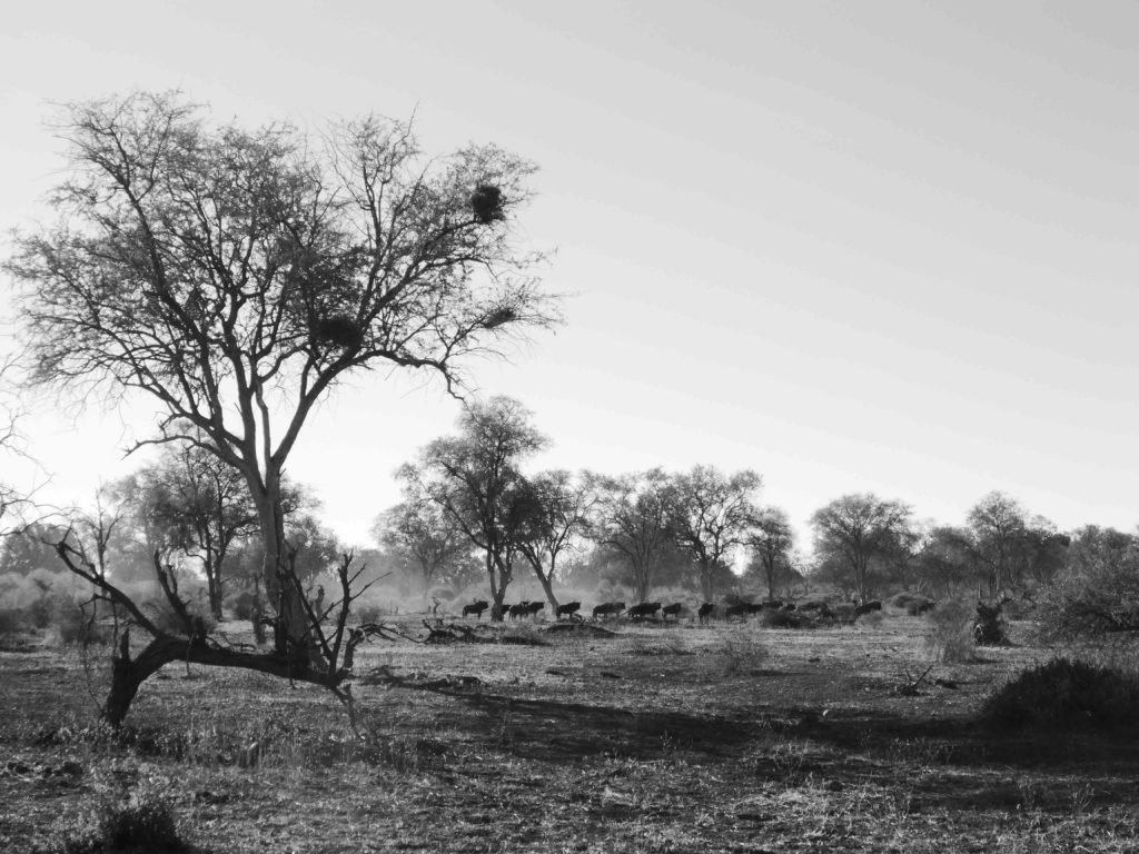 www.iamcalgary.ca IAmCalgary I Am Calgary Botswana Mashatu Cycle B+W Wildebeest
